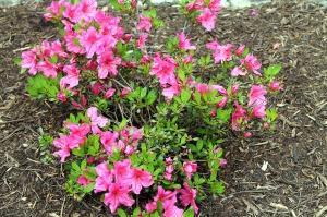 may blooms | polka dots and picket fences