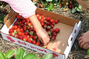 strawberry picking | polka dots and picket fences