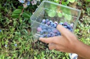 blueberry picking | polka dots and picket fences