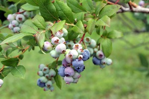 blueberry picking   polka dots and picket fences